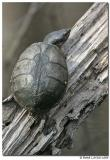 Tortue / Turtle