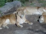 Big cats at St. Louis Zoo