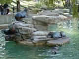 Sea Lions at St. Louis Zoo