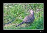 Hen Pheasant.jpg