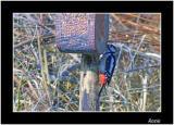 G S Woodpecker.jpg