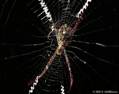 Zebra-Spider with male