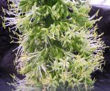 Cactus flower up close (Agave attenuata)