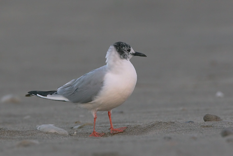 Bonapartes Gull, first summer