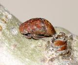 Leafhoppers genus Penthimia