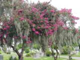 Spanish moss hanging from the foliage at the cemetery
