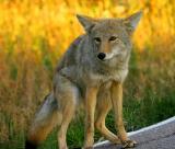 Coyote 230
