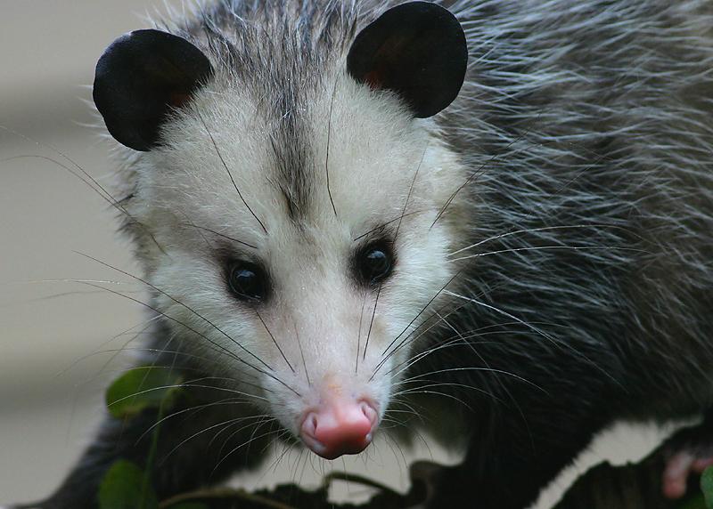Opossum Face