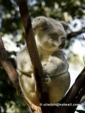 Koalasm.jpg