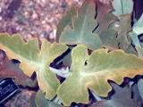 Velvety Oak Leaves