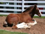 Young Clydesdale colt - Taken at Seaworld, San Diego, 2002