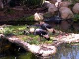 African Crowned Crane - San Diego Wild Animal Park