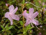 serpyllifolium...