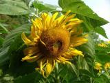 sunflower36
