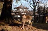 Nara is famous for the tame deer wandering in the temples of Nara-koen Park