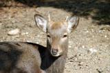 Roe deer sprouting antlers