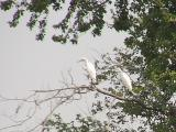I'm not use to seeing shore birds perching in trees.