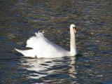Female Mute Swan