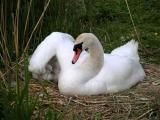 Mute swan with baby