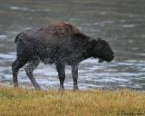 Bison  (calf)