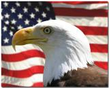 Bald Eagle over American Flag