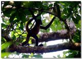 Monkeys Of The Solentiname Islands