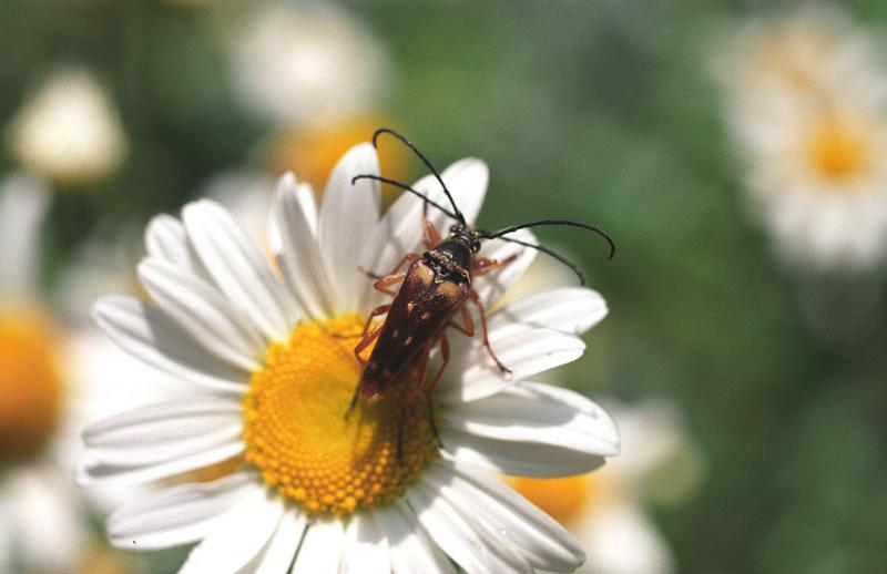 Long Horned Beetles Mating