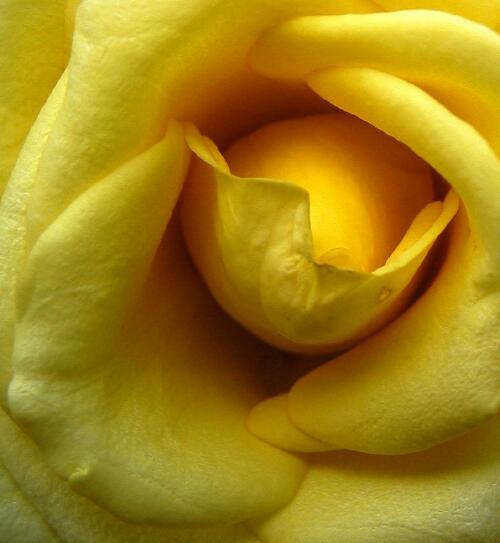 Yellow rose2.jpg