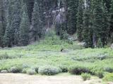 Bull Moose, Just Outside of Camp