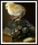 Chick and tortoise