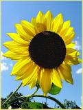 sunflower_filtered.jpg
