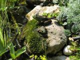 Frogs on a rock