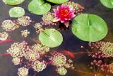 Sultan waterlily and Mosaic plant