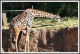 Giraffe Eating - IMG_0957.jpg
