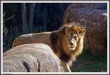 Lion Behind Rock - IMG_0959.jpg
