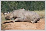Rhino Laying - IMG_0944.jpg