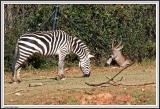Zebra Eating - IMG_0953.jpg