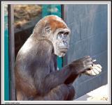 Gorilla - IMG_989-Crop.jpg