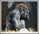 Gorilla with Attitude - IMG_990-Crop.jpg