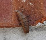 Net-winged Beetle Nymph