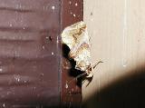 Moonseed Moth (Plusiodonta compressipalpis)