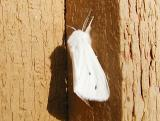 Virginian Tiger Moth or Yellow Bear Moth (Spilosoma virginica)