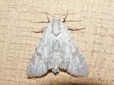 American Dagger Moth (Acronicta americana) [Noctuidae , Acronictinae , Acronictini]