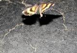 possible Similar Underwing (Catocala similis)