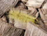 American Dagger Moth caterpillar (Acronicta americana)