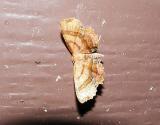 Scallop Moth (Cepphis armataria)