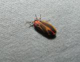Painted Lichen Moth (Hypoprepia fucosa)