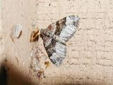 White Banded Toothed Carpet (Epirrhoe alternata)