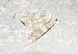 Tearful Underwing (Catocala lacrymosa)
