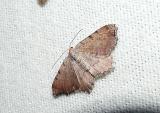 Minor Angle (Semiothisa minorata) [Geometridae , Ennominae , Semiothisini]